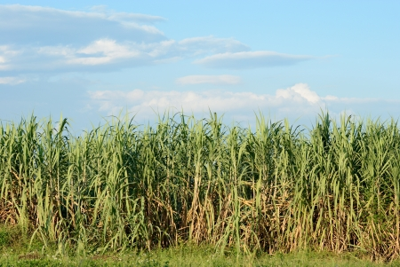 sugarcane field on blue sky background photo