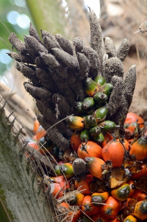 Oil palm is ripe on the tree Stock Photo - 16407588