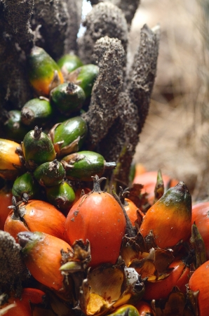Oil palm is ripe on the tree Stock Photo - 16407590
