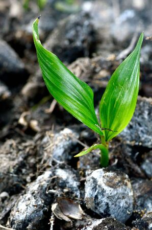 Young oil palm in the field Stock Photo - 16407587