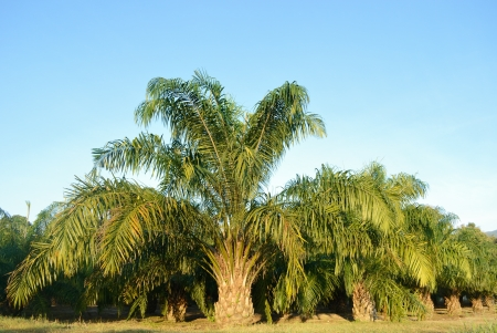Oil palm tree in northern of Thailand Stock Photo