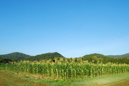 corn flower: Green cornfield of the Thailand Stock Photo