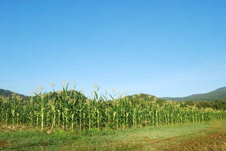 Green cornfield of the Thailand Stock Photo - 16485990