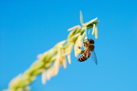 Honey bee pollinated of flower Stock Photo - 16485969