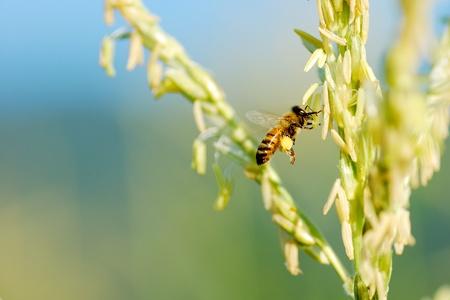 Honey bee pollinated of flower Stock Photo - 16485976