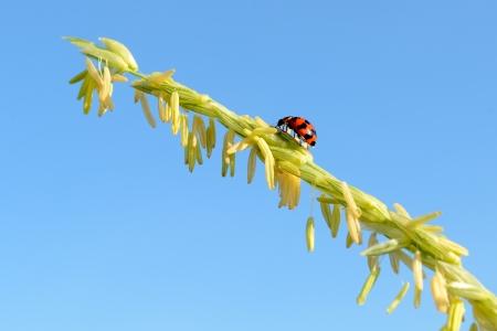 corn flower: Ladybug moving on corn flower