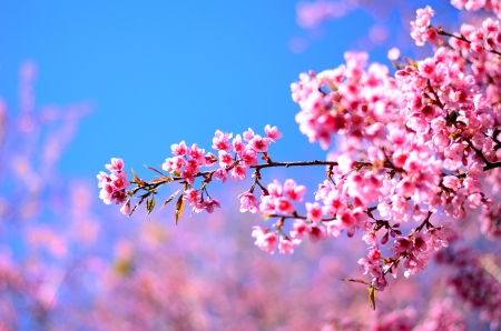 to blossom: Beautiful cherry blossom in the northern of Thailand