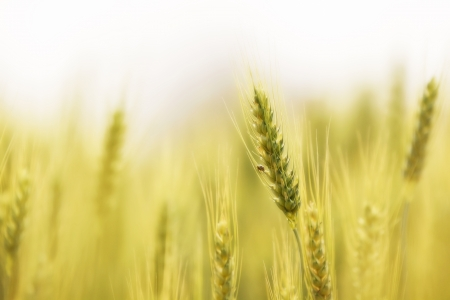 the spike: Barley field in the northern of Thailand Stock Photo