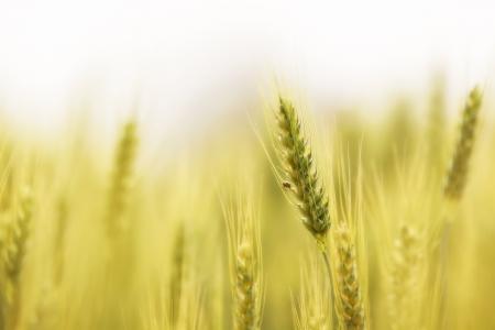 wheat harvest: Campo di orzo nel nord della Thailandia