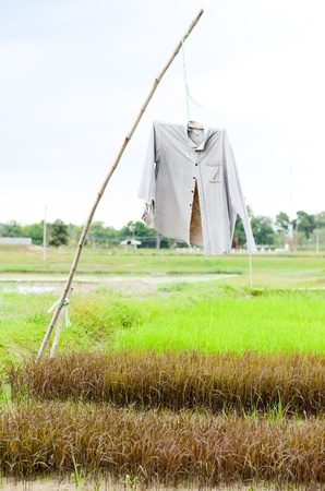 Rice field with scarecrow that made of old shirt photo