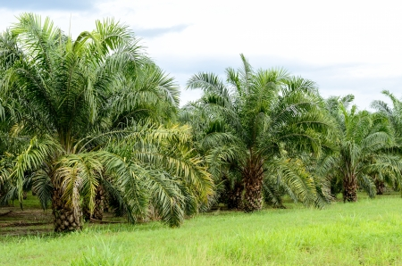 Oil palm tree in the field photo