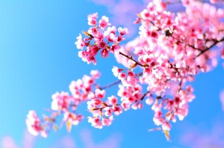 cerezos en flor: Hermosa flor de cerezo en el norte de Tailandia