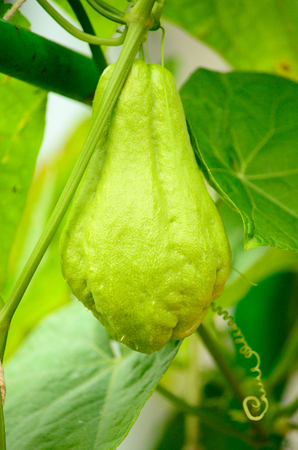 chayote: Green chayote, Sechium edule hanging on the tree