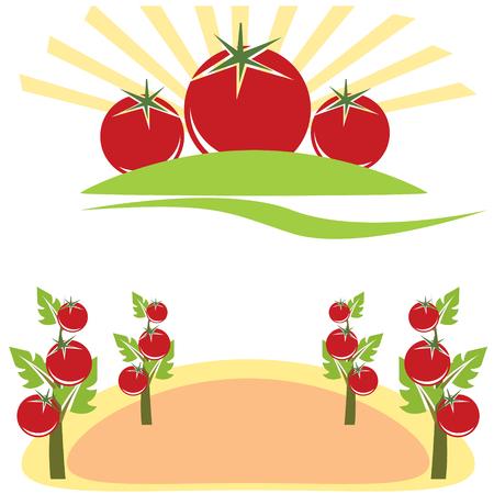 carotenoid: Campo de tomate