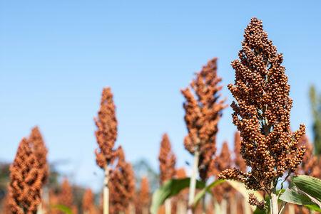 sorgo: El sorgo en el campo de la cosecha