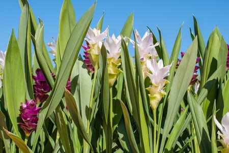 Siam tulip flower in the garden photo