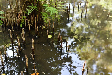 Mangrove forest help reduce the effects of global warming