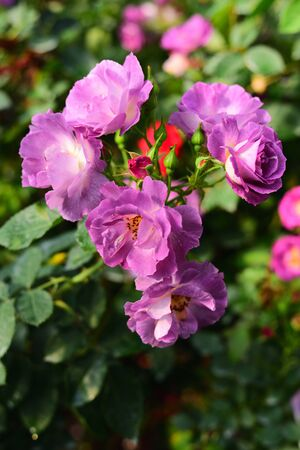 Close-up shots of beautiful roses in the garden Stock Photo