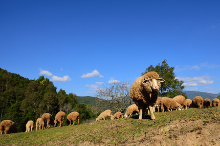 Sheep cute eating grass in a meadow in the mountains of Northern Thailand