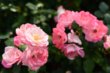 celebration: Close-up shots of beautiful roses in the garden Stock Photo