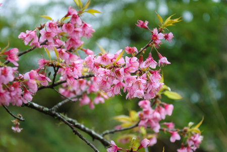 Beautiful cherry blossom in the northern of Thailand