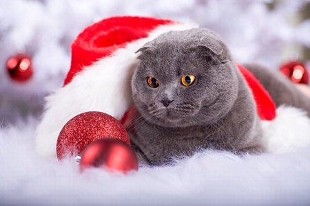 portrait of a Scottish shorthair cat at the Christmas tree photo