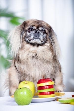 pekingese: portrait of a pekingese dog