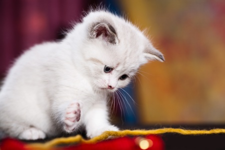 persian cat: portrait of a young small persian kitty