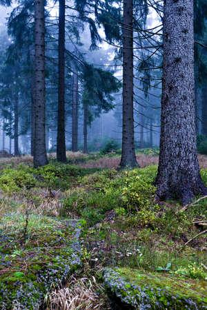 evergreen forest: Evergreen forest near Masserberg, Schiefergebirge, Germany Stock Photo