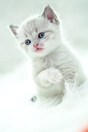 portrait of a young small persian kitty photo