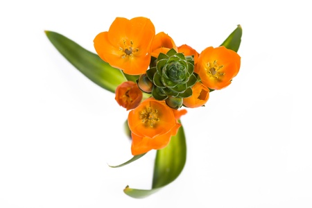 the Ornithogalum dubium flower in front of white background Stock Photo