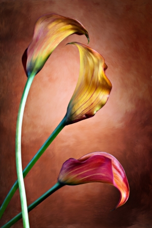 Zantedeschia aethiopica, painted Calla lily flower in frot of red bachground