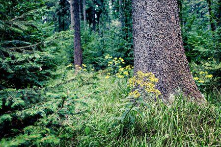 moos: Evergreen forest near Masserberg, Schiefergebirge, Thuringia, Germany Stock Photo
