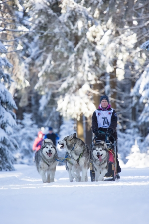 MASSERBERG, GERMANY - FEBRUARY 10: Trans Th�ringia 2013. The annual sled dog teams race different classes, in Masserberg, Thuringia, Germany on February 10, 2013.