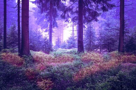 evergreen forest: Evergreen forest early in the morning Stock Photo