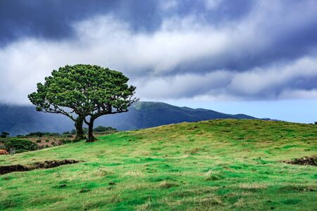 laurel mountain: Laurel tree on Fanal plateau on Madeira Island, Portugal