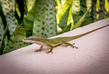 Gecko on Caribbean wall. Resting green Gecko in the Dominican Republic with exotic leaves providing a lush background.