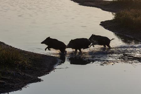 three wild boar running through water