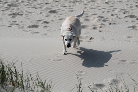 labrador retriever on the beach photo