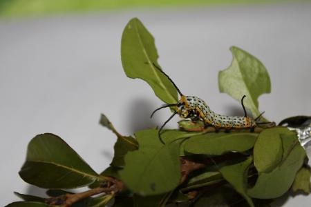 japonica: brahmaea japonica caterpillar