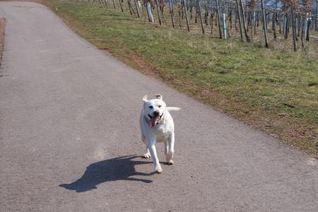 running labrador retriever photo