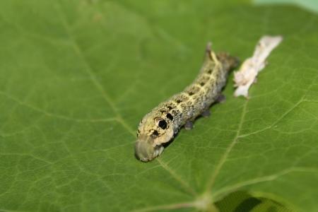 deilephila elpenor caterpillar Stock Photo