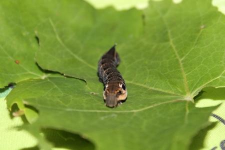 deilephila: deilephila elpenor caterpillar Stock Photo