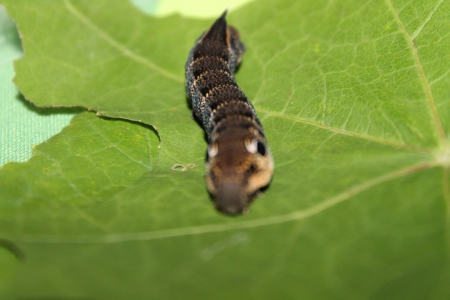 deilephila: deilephila elpenor caterpillar Stock Photo