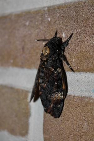 lepidopteran: Death s-head Hawk-moth Stock Photo
