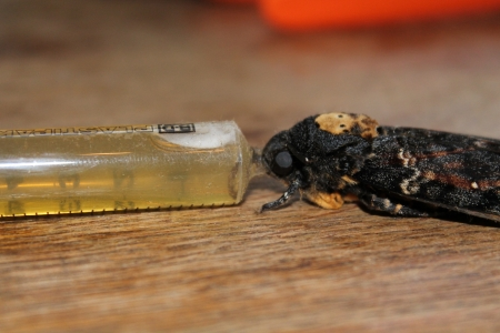 sphingidae: Death s-head Hawk-moth eating honey