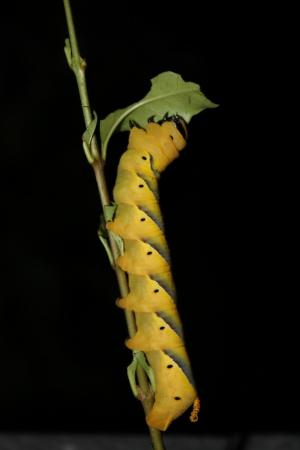 lepidopteran: Death s-head Hawk-moth caterpillar