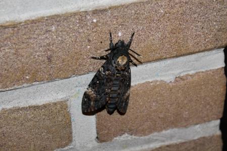 lepidopteran: Death s-head Hawk-moth acherontia atropos