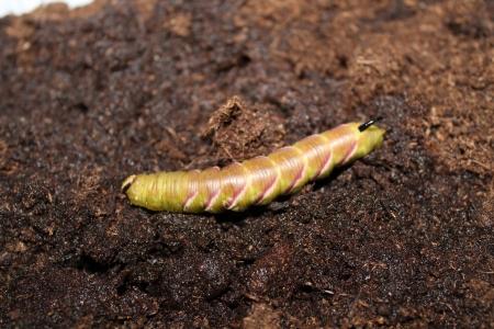 sphingidae: sphinx ligustri caterpillar