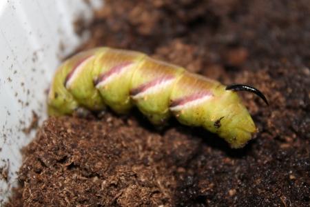 entomological: sphinx ligustri caterpillar